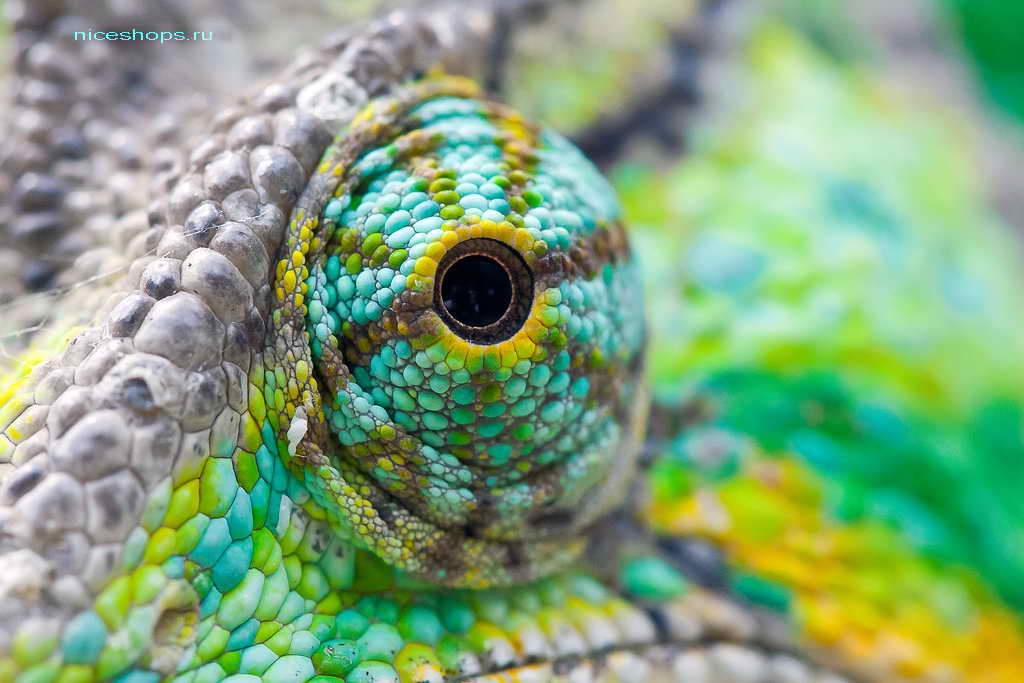 cvet-glaz-hameleona