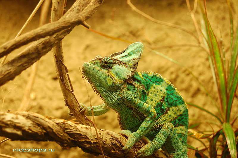 emenskiy-hameleon-menyaet-cvet