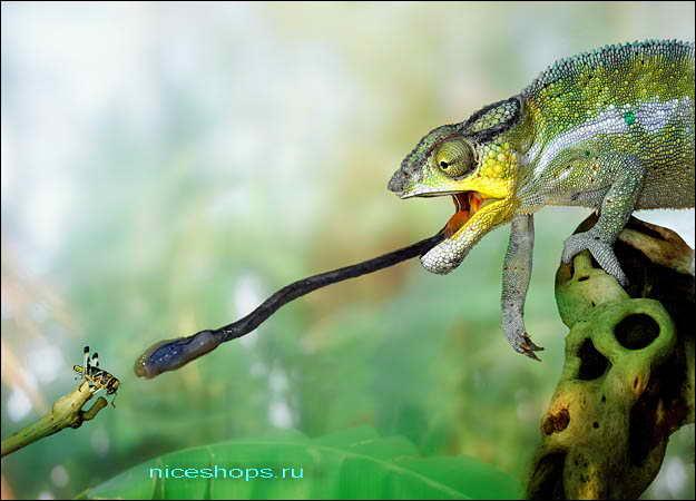 foto-hameleona-s-yazykom