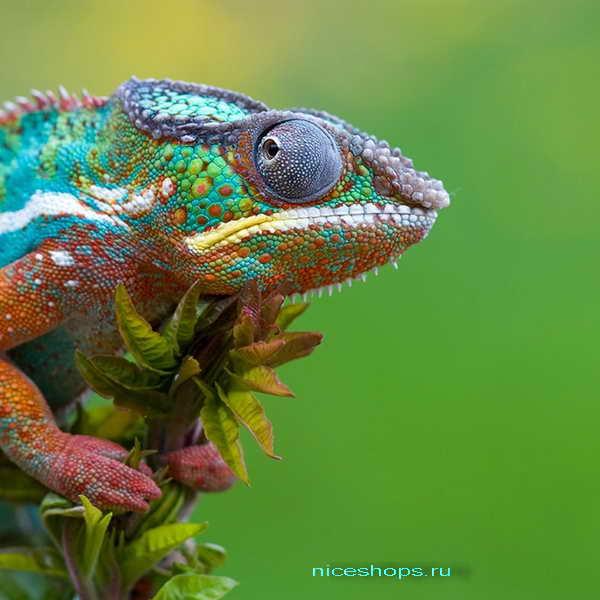 hameleon-osobennosti-vneshnego-vida