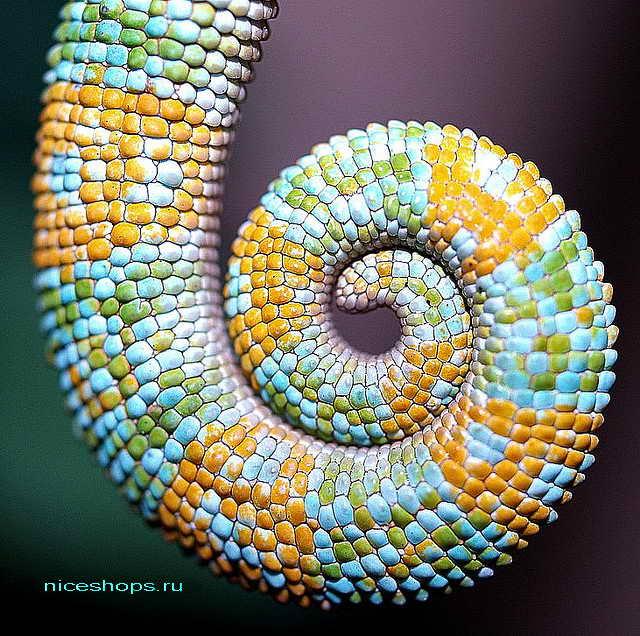 hameleon-osobennosti-vneshnego-vida-hvost