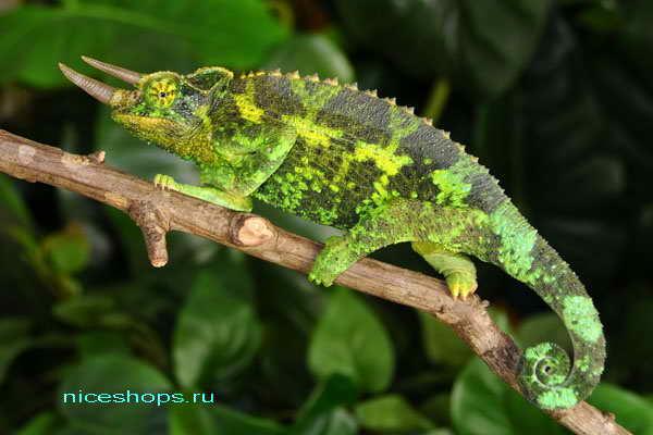 jacksons-chameleon-osobennosti-vneshnego-vida