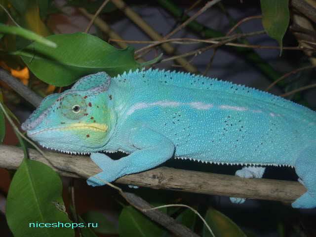 panther-chameleon-kak-menyaet-cvet