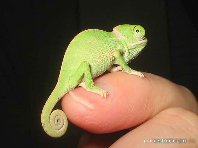 samyj-malenkij-hameleon-v-mire-senegal