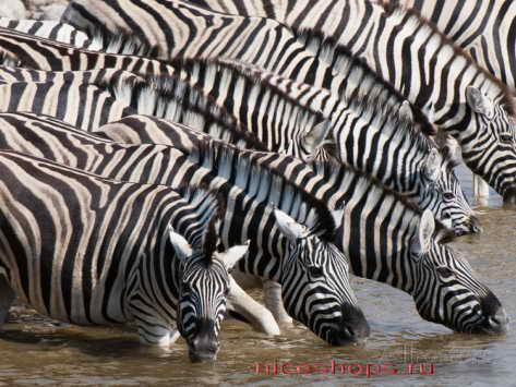 burchellova-zebra-foto-jivotnyj-mir-afriki-2
