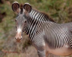 grevy-zebra-foto-jivotnyj-mir-afriki-2
