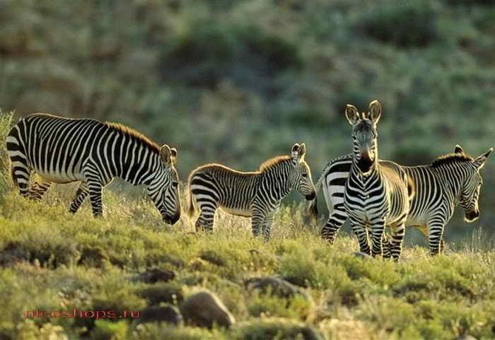 kapskaya-zebra-foto-jivotnyj-mir-afriki