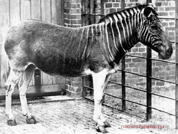 vidy-zebry-kvaggi-jivotnyj-mir-afriki-1