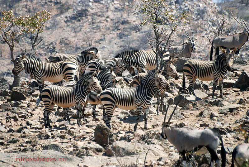 zebra-hartmana-foto-jivotnyj-mir-afriki