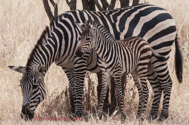 zebra-jivotnoe-polosatoe-novosti-nauki-1