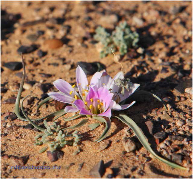 zagadki-pustyni-sahary-cvety-2