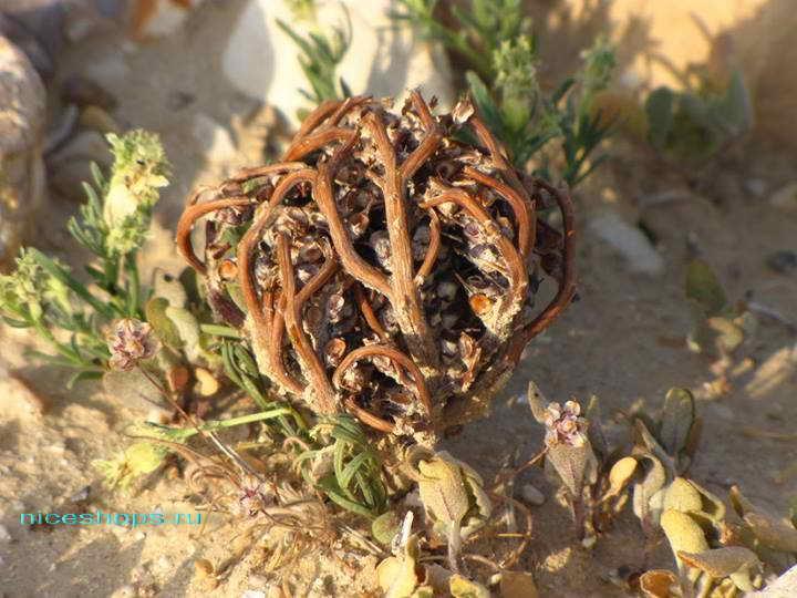 zagadki-pustyni-sahary-cvety-ierihonskaya-roza-2