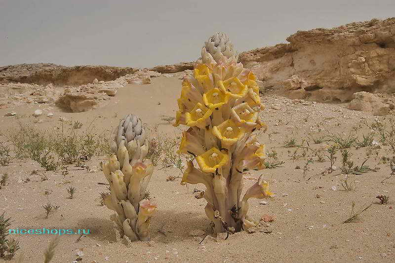 Пустынный гиацинт в Сахаре Cistanche tubulosa