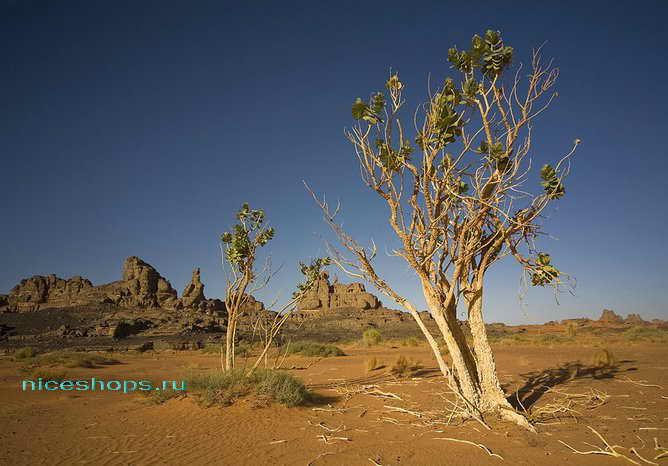 Растения пустыни Сахара - деревья
