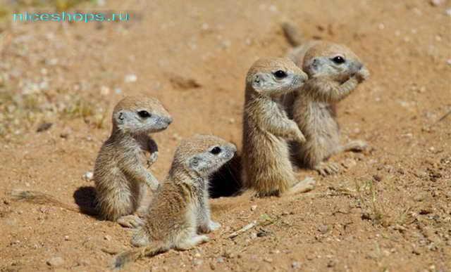 Детеныши сурикатов в пустыне Сахара
