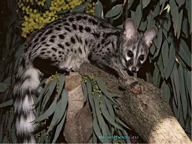 Необычное животное Африки циветта