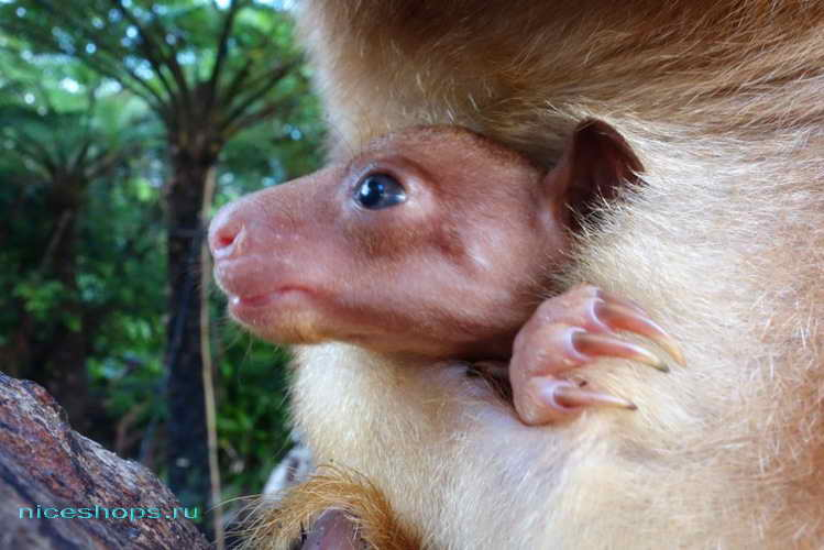 Детеныш древесного кенгуру валлаби