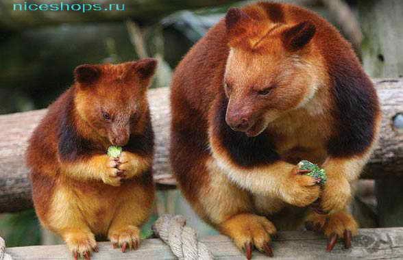 Необычное животное Австралии валлаби