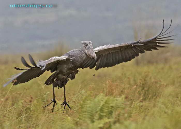 Необычная птица из Африки китоглав