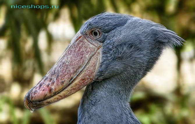 Необычная птица китоглав