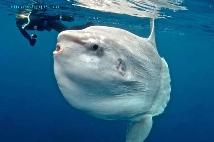 Необычное морское животное рыба мола-мола