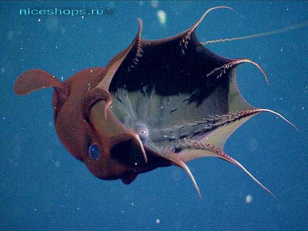 Необычное морское животное адский вампир моллюск