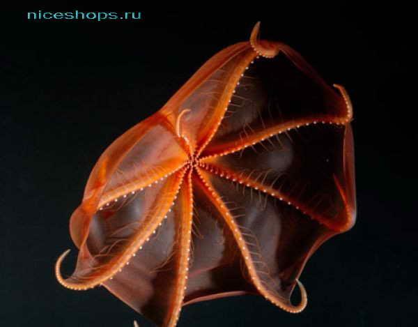 Необычный моллюск адский вампир
