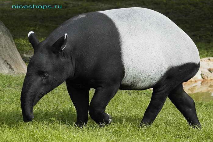 Необычное животное Америки тапир