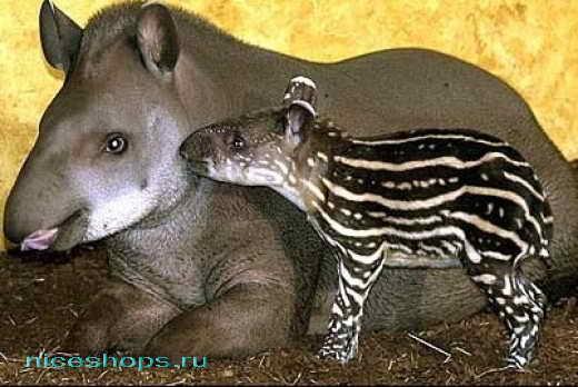 Тапир с детенышем