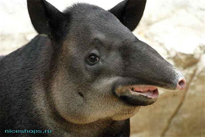 Необычное животное тапир
