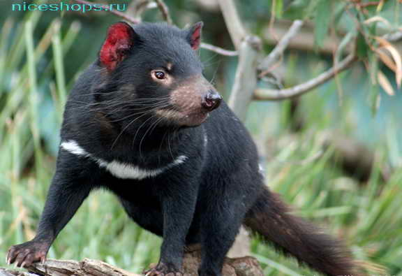 Необычное животное Австралии тасманийский дьявол