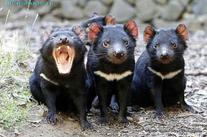 Необычное сумчатое животное из Австралии тасманийский дьявол