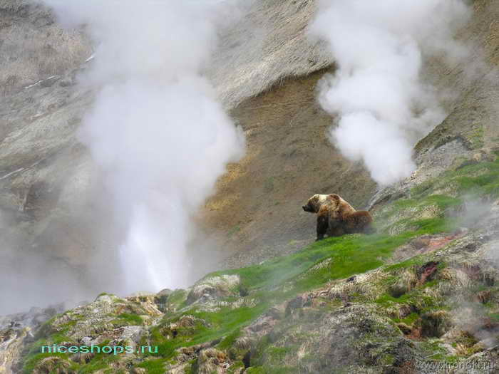 Медведи греются в Долине гейзеров на Камчатке