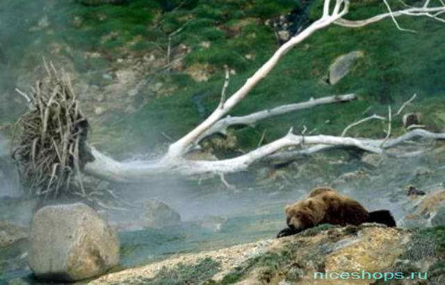 Медведи в Долине гейзеров на Камчатке