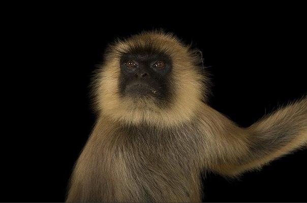 Про обезьяну гульман - священное животное в Индии