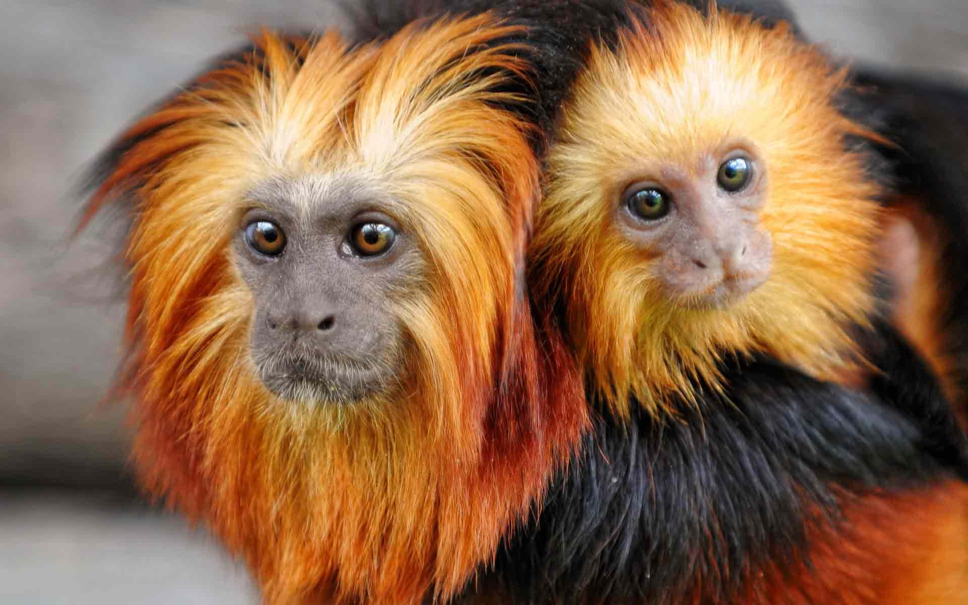 Про обезьяну золотистую игрунку