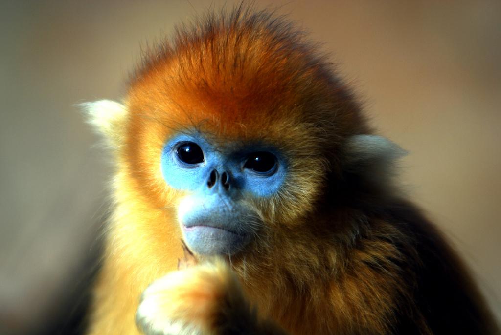 Про обезьяну золотистую курносую