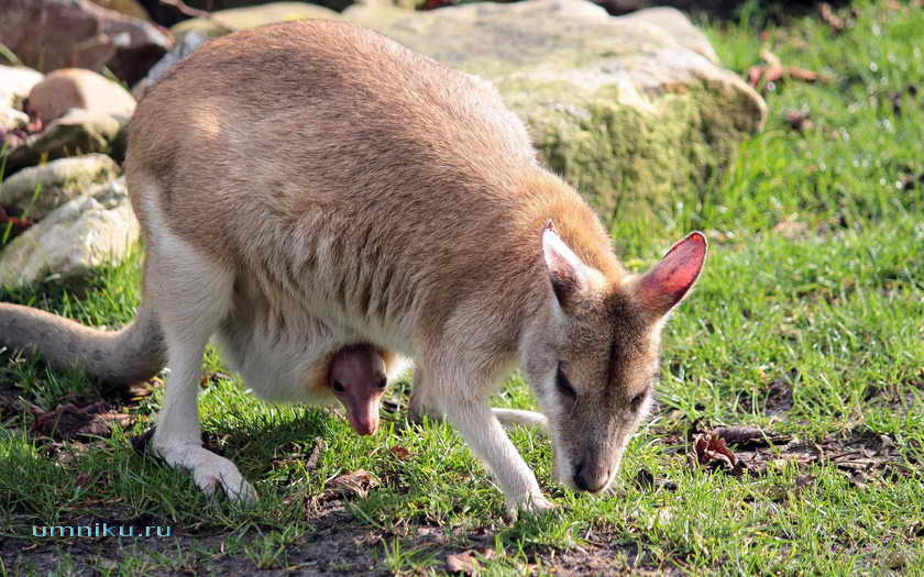 Сумчатое животное кенгуру