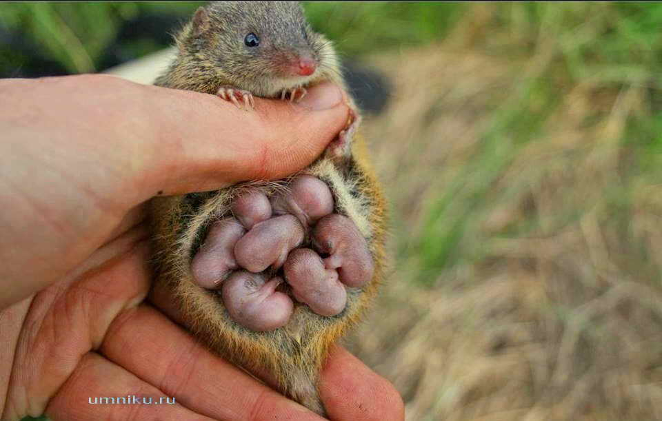 Сумчатое животное мышь