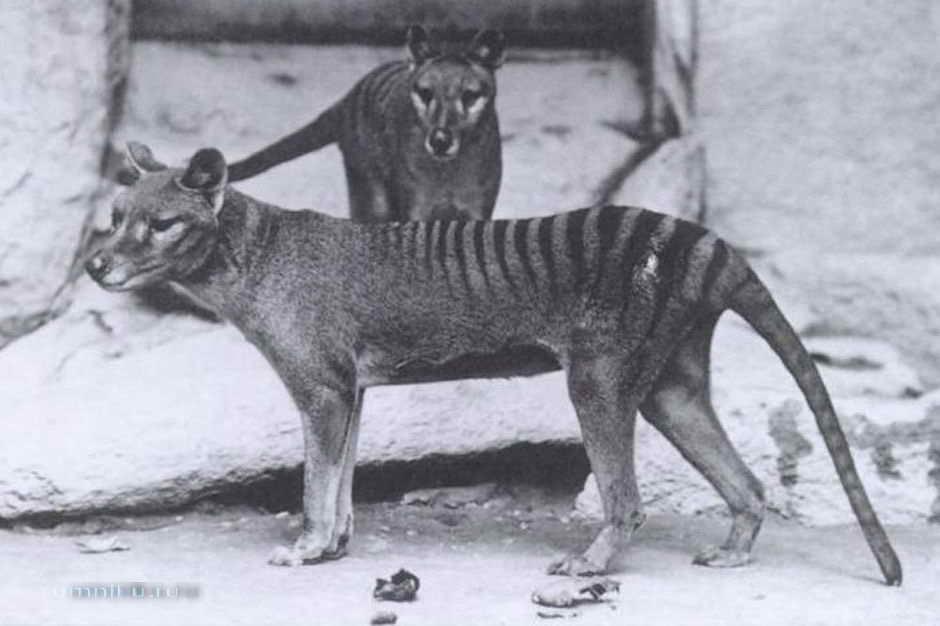Сумчатое животное волк