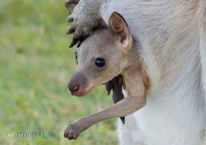 Удивительные сумчатые животные