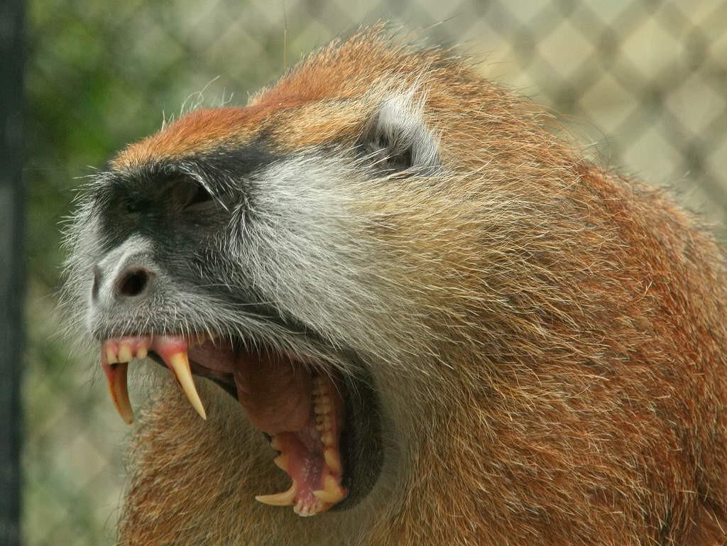 Острые клыки обезьяны гусара