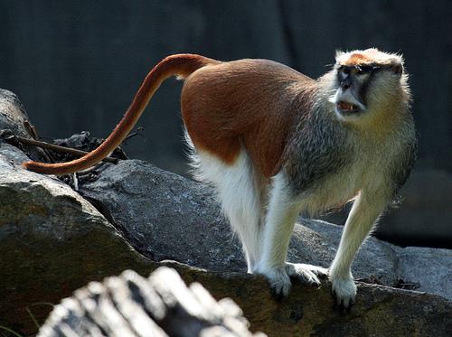 Самец обезьяны гусара