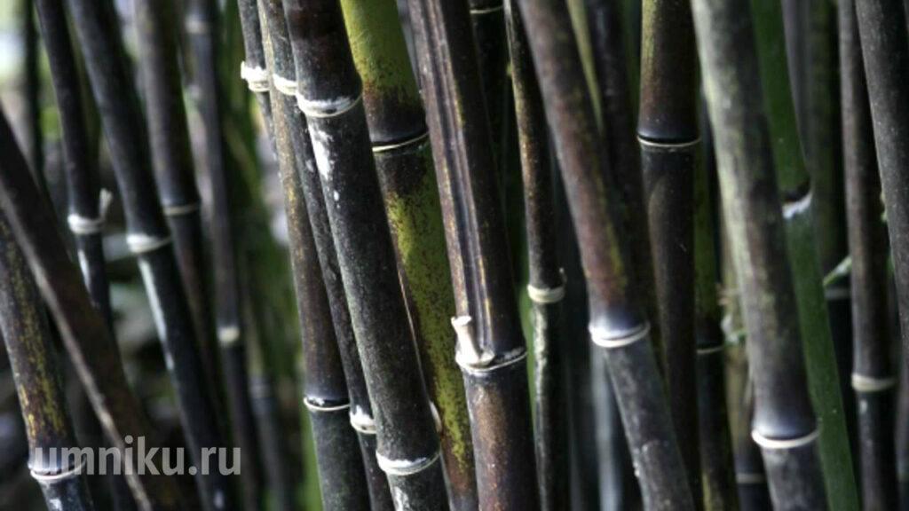 Лощина черного бамбука, Хэйчжу