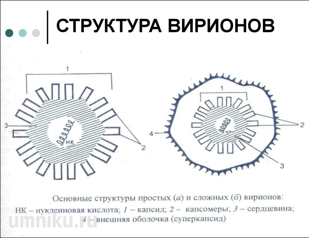 строение вирусов вирионов