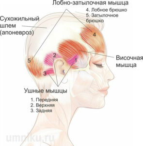 ушные мышцы